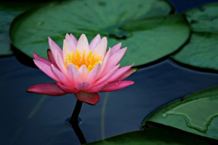 the story of the lotus flower  with an open heart, Beautiful flower