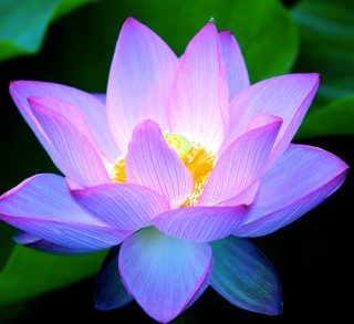 Lotus Flower. With an open heart